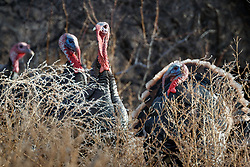 Backlit wild tom turkeys (Meleagris gallopavo) in grass, Ladder Ranch, west of Truth or Consequences, New Mexico, USA.