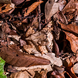 """""""Sapo-de-chifre (Proceratophrys laticeps) fotografado em Linhares, Espírito Santo -  Sudeste do Brasil. Bioma Mata Atlântica. Registro feito em 2013.<br /> <br /> <br /> <br /> ENGLISH: Horned-frog photographed in Linhares, Espírito Santo - Southeast of Brazil. Atlantic Forest Biome. Picture made in 2013."""""""