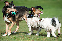 A black and tan mixed breed young dog with two small black, white and tan Jack Russell terrier dogs play fighting in a park <br /> March 2011.Images © Paul David Drabble