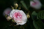 Rosa 'Felicite Parmentier' a pink and white rose at Chiswick House Gardens, Chiswick House, Chiswick, London, UK