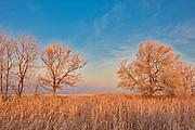 Trees in morning light, Lorette, Manitoba, Canada