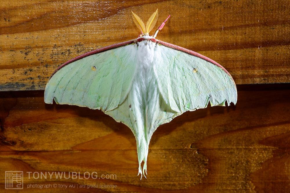 Japanese luna moth (Actias artemis) in Kochi prefecture, Japan. オオミズアオ