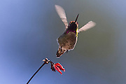 An Anna's hummingbird (Calypte anna) takes off the branch of a maple tree. Hummingbirds can fly up to 60 miles per hour (96 km/h). When flying, their heart rate can reach 1,250 beats per minute, five times as fast as their heart rate at rest.