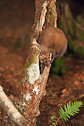 Pine marten looking for food in a hole in a tree at a feeding station on the Aigas Estate. Some of the proceeds will be donated to the Aigas Trust for environmental education.