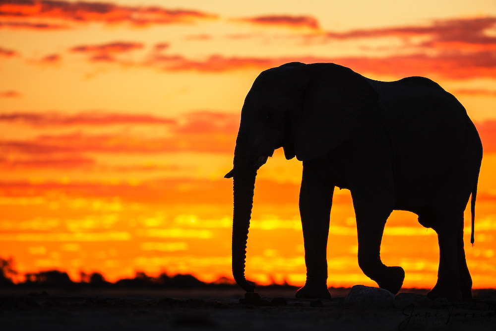 A silhouette of a bachelor elephant bull (Loxodonta africana) walking against a golden African sky at sunset, Nxai Pan, Botswana, Africa