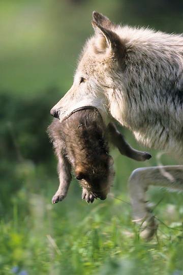 Gray Wolf, (Canis lupus) Alpha female carries pup to new den site. Montana. Captive Animal.