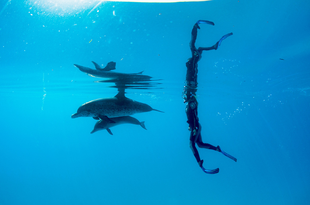 A woman snorkels with Atlantic spotted dolphins (Stenella frontalis) off Bimini, Bahamas.