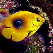 Rock Beaudy juveniles inhabit reefs and surrounding areas, usually hiding in recesses in reef in Tropical West Atlantic; picture taken Panama, San Blas Islands.