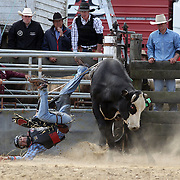 Jack Cleaver from Lawrence in action during the Open Bull Ride competition at the Southland Rodeo, Invercargill,  New Zealand. 29th January 2012