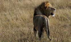 24-10-2008 REPORTAGE: KILIMANJARO CHALLENGE 2008: TANZANIA <br /> De dag van De Ngorongoro-krater, de grootste intakte caldera (ingestorte vulkaankegel) ter wereld. Hij bevindt zich ten noordwesten van Arusha in Tanzania / Wild, dieren, Natuur, vogels, Leeuw<br /> ©2008-FotoHoogendoorn.nl