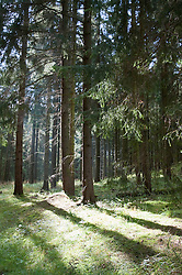 European spruce forest at Harz National Park
