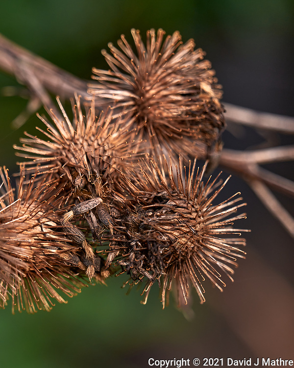 Burdock seed pod. Image taken with a Leica SL2 camera and 24-90 mm lens.