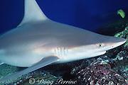 sandbar shark, Carcharhinus plumbeus, Maui, Hawaii, USA