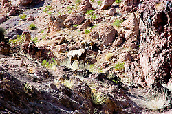 Mountain sheep, ram, male, mature, curved horns, in the hills near Hoover Dam on border of Arizona, AZ, Nevada, NV, mountain, landscape, wildlife, agility, image nv429-18688.Photo copyright: Lee Foster, www.fostertravel.com, lee@fostertravel.com, 510-549-2202