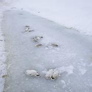 Emperor Penguin (Aptenodytes forsteri) adults among dead chicks. Riiser Larsen Ice Shelf, Antarctica