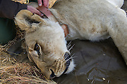 Lioness darted for relocation to Malawi (Panthera leo) & Dr Andre Uys attaching collar with tracking device<br /> Pilansberg Game Reserve<br /> North West Province<br /> SOUTH AFRICA