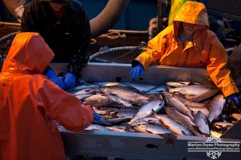 Workers aboard a salmon tender sort commercially caught wild salmon in Chiniak Bay, Kodiak Island, Alaska.