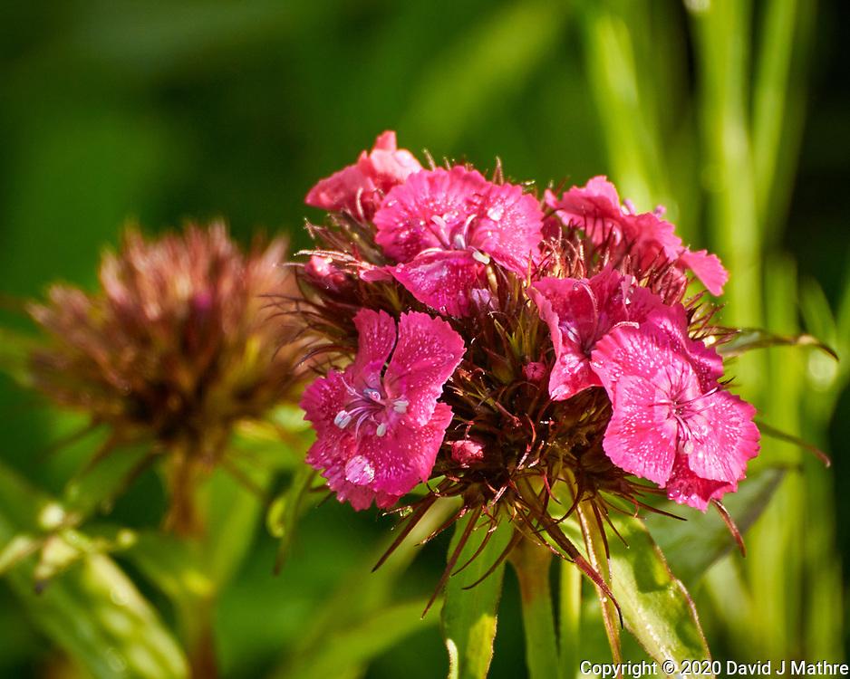 Sweet William (Dianthus) flowers. Image taken with a Nikon N1V3 camera and 70-300 mm VR lens (ISO 400, 300 mm, f/5.6, 1/400 sec).