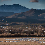 Snow geese grazing on agriculture fields inside Bosque Del Apache NWR. New Mexico.