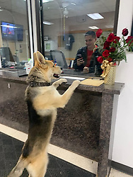 "A dog reported itself to police when it had lost its owner. <br /> <br /> Chico the German Shepherd put its paws up on the reception at Odessa Police Department in Texas on 11 February. <br /> <br /> Staff later found out the cheeky canine returned safely to its owner. <br /> <br /> Support Our Permian Basin Police Officers reported: ""So.... this happy guy randomly strolled into the front desk of the Police Department last night. We're thinking he wanted to apply for a K-9 position after eliminating a Lassie type situation. He was given lots of love and attention until he decided it was time for him to leave. He let himself out and after an exhausting search was not found. We were relieved to learn he safely returned to his owner. Chico is welcome back anytime.""<br /> <br /> When: 11 Feb 2020<br /> Credit: Support Our Permian Basin Police Officers/Cover Images<br /> <br /> **Editorial use only**"