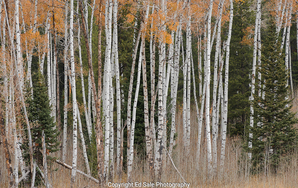 Fall color on Aspens is almost gone at the end of September in the high country of Teton National Park.