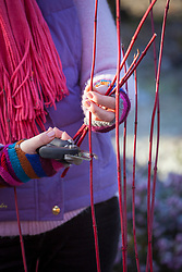 Taking hardwood cuttings from cornus