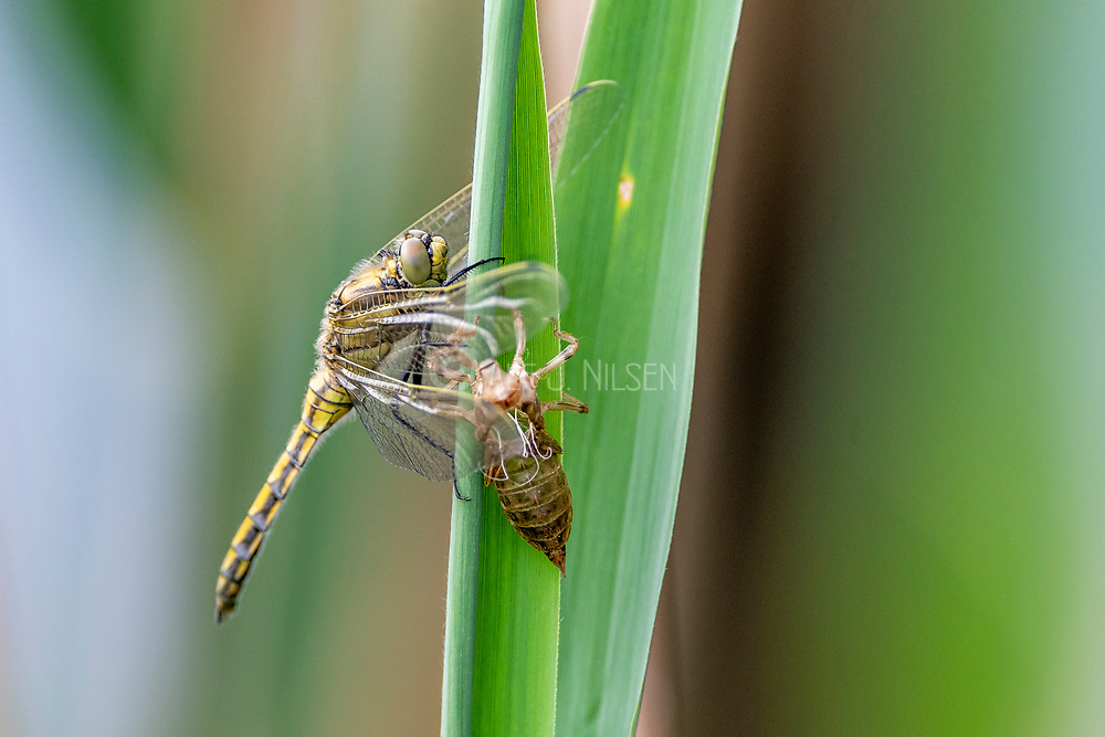 A nymph of the black-tailed skimmer (Orthetrum cancellatum) undergoes transition and becomes an adult dragonfly in the process known as incomplete metamorphosis. Photo from Vejlerne, northern Denmark in June.