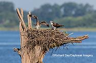 00783-02113 Osprey (Pandion haliaetus) juvenile exercising wings at nest Rend Lake Jefferson Co. IL