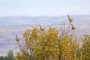 Sharptailed grouse Budding in Hawthorn Bush