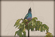 Digitally enhanced image of a Greater Blue-eared Starling (Lamprotornis chalybaeus) Photographed in Aberdare National Park, Kenya