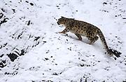 LADAKH, INDIA: Adult male snow leopard walks across snow covered rocks in Hemis National Park.