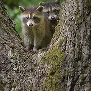 Pair of young North American raccoon (Procyon lotor) kits found exploring outside the den, peering down with curiosity from a tree perch. Photographed on nature preserve at Ohio Bird Sanctuary. Image published in Spring/Summer 2015 Nature's Best Photography magazine as a winner of Nature's Best Backyards 2014 international competition, and in Wild Planet magazine's Photo of the Month gallery, Issue 27 (January 2016). Republished in portfolio feature, Wild Planet Issue 47/Sept. 2017.