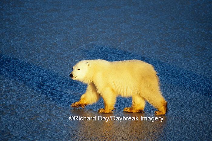 01874-01305 Polar Bear (Ursus maritimus) 1 cub walking on frozen pond  Churchill  MB