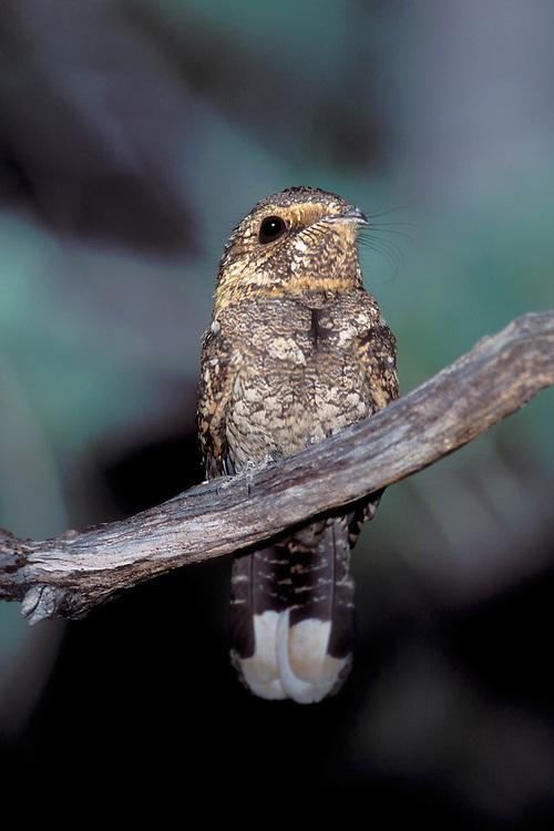 Whip-poor-will - Caprimulgus vociferus - female