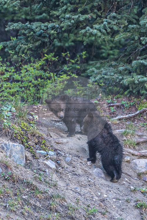 Grizzly bear spring cubs play along the banks of Lake Louise in Banff National Park in Alberta, Canada.