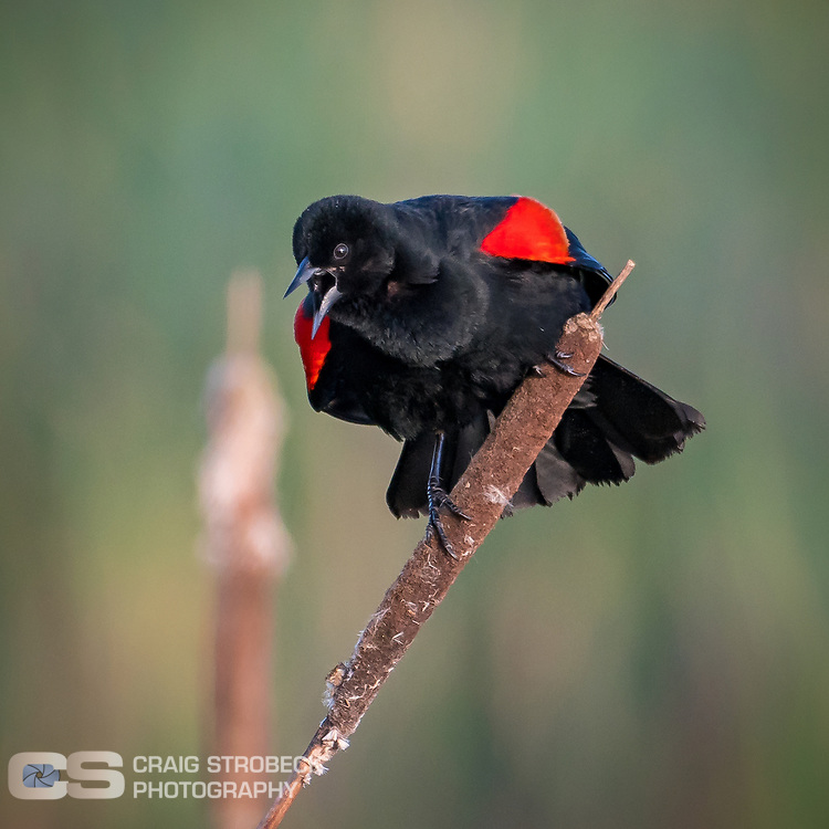 Red-winged blackbird makes some noise at William L Finley National Wildlife Refuge.