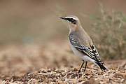 Northern Wheatear (Oenanthe oenanthe) an Old World flycatcher, Photographed in Israel in September