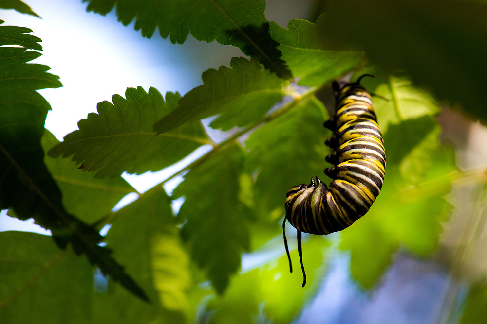 Just before the caterpillar pupates, he spins a small silk pad, and will hang from it in the 'J' position for about twenty four hours.
