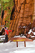 Backcountry skier at the President Giant Sequoia, Giant Forest, Sequoia National Park, California