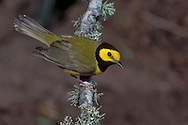 Hooded Warbler - Wilsonia citrina - male