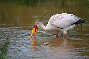 The Yellow-billed Stork feeds by opening its bill and placing it into the water. It then moves the bill laterally., snapping shut when it touches a prospective prey item.