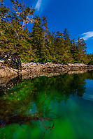 Sea kelp in clear waters in Magoun Islands State Marine Park, Krestof Sound, southeast Alaska USA.