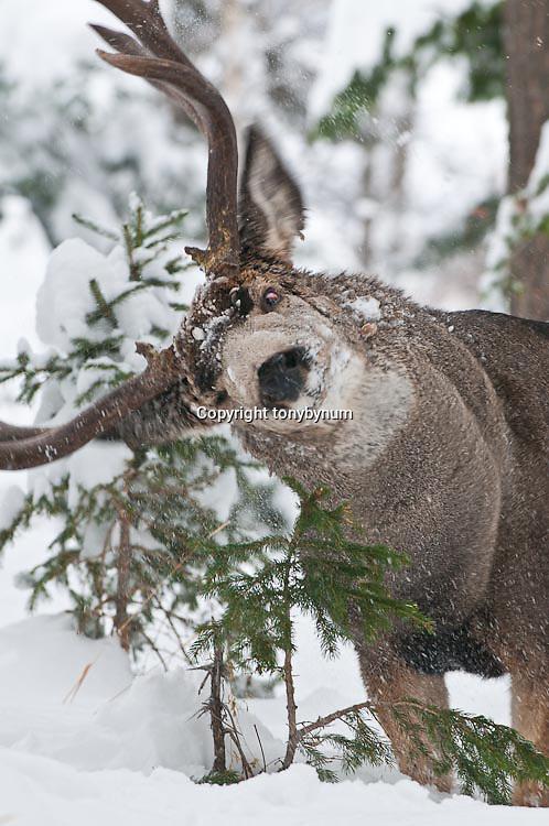 mature muledeer buck rubbing antlers fir tree, aspen, snow, durring rut