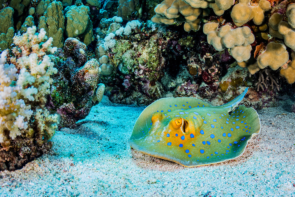 A Blue-spotted / Ribbontail Stingray (Taeniura lymma) resting on the seabed in the Red Sea off Marsa Alam, Egypt.