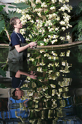 """Royal Botanic Gardens.""""Orchids"""" The Princess of Wales Conservatory has been transformed with a sea of glorious flowers  over 4,500 orchids have been used for the show.Pic Shows Ashleigh Davis Horticulturist putting the finishing touches to the  Phalaenopsis variety, Kew Gardens, London, UK, February 7, 2013. Photo by i-Images"""