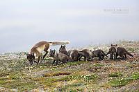Arctic fox, Nunavut, Canada