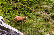 Wild goat living free in the mountain