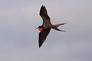 male magnificent frigatebird (Fregata magnificens) in flight over North Seymour Island, Galapagos Archipelago - Ecuador.