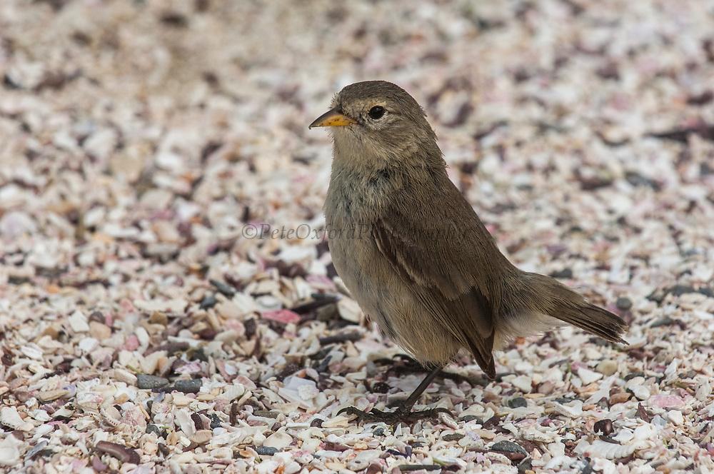 Warbler Finch (Certhidea olivacea)<br /> Española (Hood) Island<br /> GALAPAGOS ISLANDS<br /> ECUADOR.  South America<br /> Smallest of Darwin's Finches.