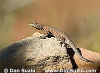 Male side-blotched lizard, Uta stansburiana, Canyonlands National Park, Utah